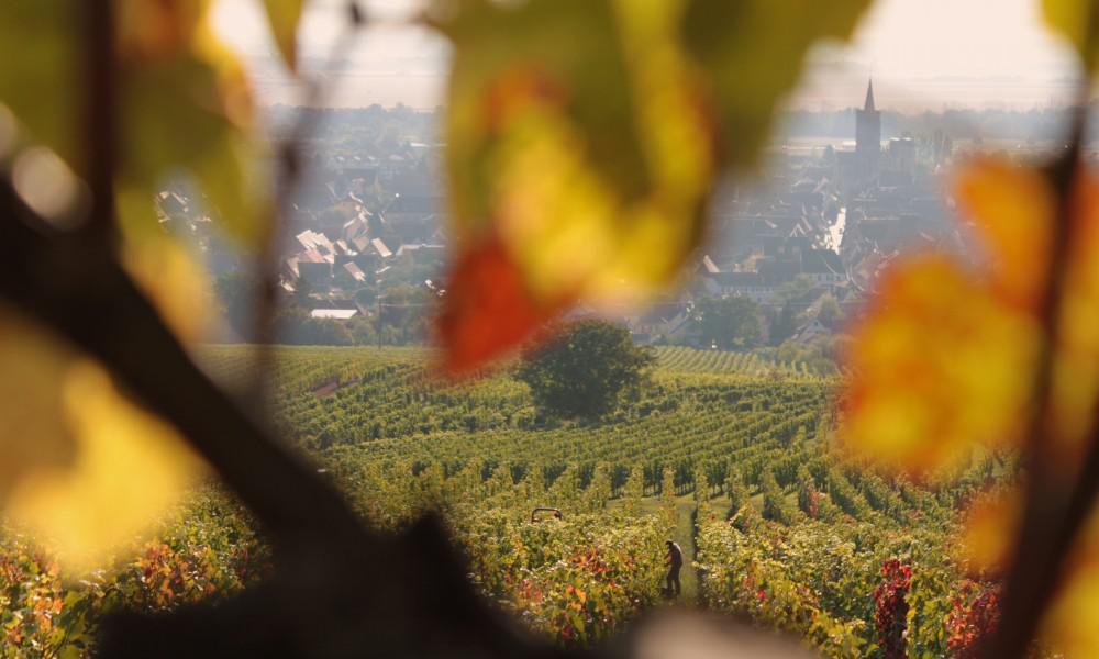 Bestheim_Vendanges-2017-Pinot-Noir-du-Vorbourg-(7)_Web